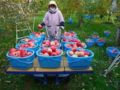 葉とらずりんごを載せた運搬車