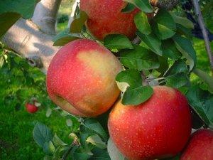 画像1: 葉とらずりんごサンふじ特秀10キロ箱